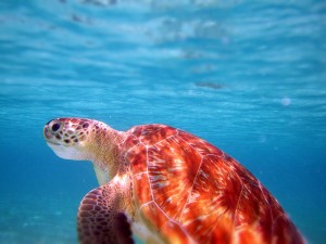 turtle tobago cays